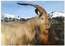 Vecchia capra sul M. Cretis (Lauco)
