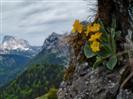 Orecchia d'orso dalle Pendici del Monte Dimon