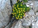 Sassifraga gialla