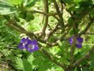 Geranium Sylvaticum - (Geranio Silvano)