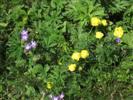 fioritura di geranio silvano e botton d'oro