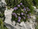Vedovelle celesti (Globularia cordifolia)