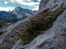 fioriture di potentilla rosea . Nel canalone sud-ovest del Monte Avanza