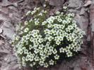 Sassifraga verdazzurra - (Saxifraga caesia)