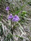 Soldanella (Soldanella alpina)