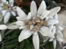 Stella alpina foto di becchetti maria